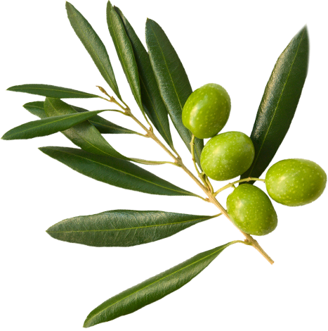 Four green olives on an olive branch